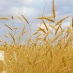 وزارت جهاد کشاورزی آمار داد؛ رشد ۸.۵ درصدی خرید تضمینی گندم در سال زراعی جاری